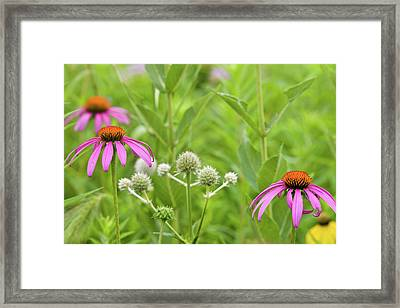 Close-up Of Various Coneflowers Framed Print by Panoramic Images