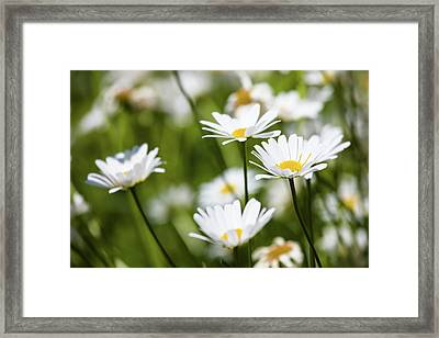 Close-up Of White Daisy Flowers Framed Print