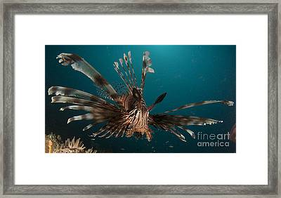 Close-up View Of A Lionfish. Gorontalo Framed Print by Steve Jones