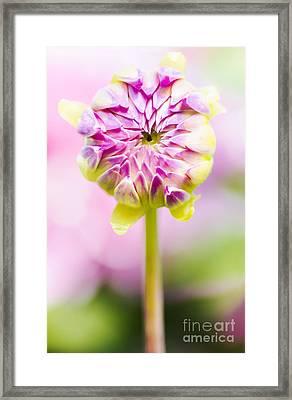 Closed Pink Baby Dahlia Flower. Spring Blossom Framed Print