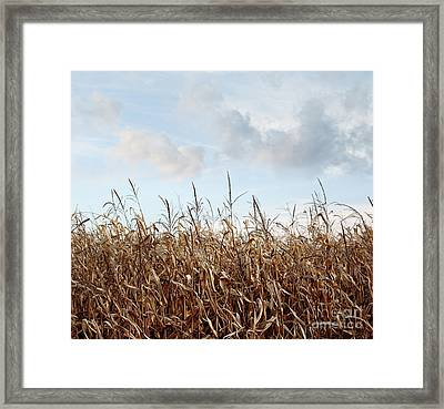 Closeup Of Corn Stalks  Framed Print by Sandra Cunningham