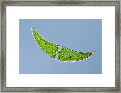Closterium Sp. Green Alga Framed Print by Gerd Guenther