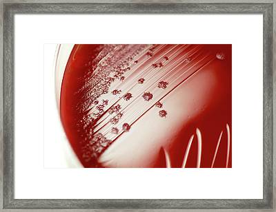 Clostridium Difficile Bacteria Culture Framed Print by Daniela Beckmann