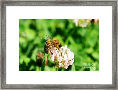 Clover Bee Framed Print by Jorgo Photography - Wall Art Gallery