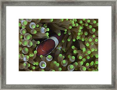 Clownfish In Anemone Framed Print by Science Photo Library
