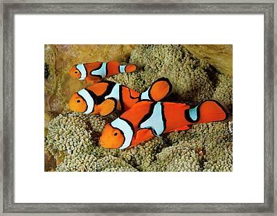 Clownfish Rest Inside Their Host Framed Print