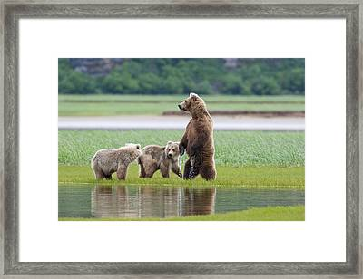 Coastal Brown Bear Sow With Her Two Framed Print by Kent Fredriksson