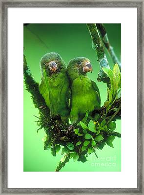 Cobalt-winged Parakeets Framed Print by Art Wolfe
