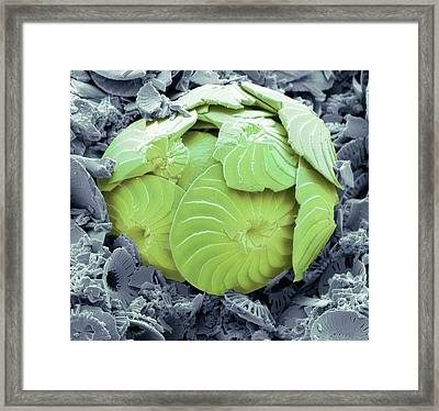 Coccolithophore Shell Framed Print
