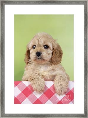 Cockapoo Puppy Dog Framed Print by John Daniels