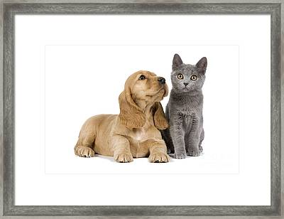 Cocker Spaniel And Chartreux Framed Print by Jean-Michel Labat
