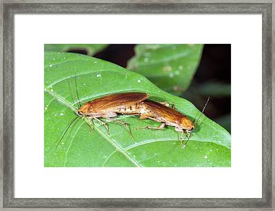 Cockroaches Mating Framed Print by Dr Morley Read