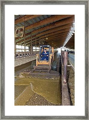 Collecting Cow Dung Framed Print