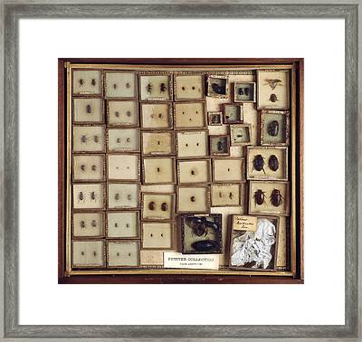 Collection Of Beetles Framed Print by Science Photo Library