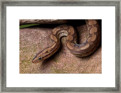 Framed Print featuring the photograph Colombian Rainbow Boa Epicrates Maurus by David Kenny