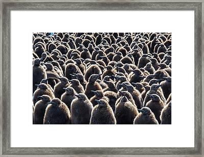 Colony Of King Penguins, Aptenodytes Framed Print by Tom Murphy