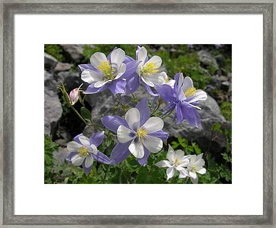 Colorado Blue Columbines Framed Print