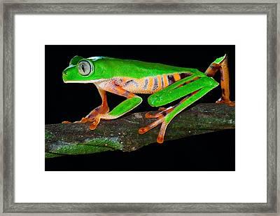 Colorful Tree Monkey Frog Framed Print by Dirk Ercken