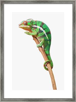 Colourful Panther Chameleon  Furcifer Framed Print