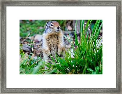 Columbian Ground Squirrel Framed Print
