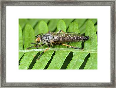 Common Awl Robberfly Framed Print