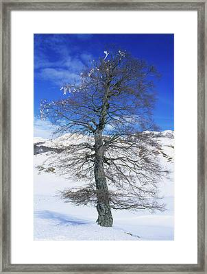 Common Beech Tree (fagus Sylvatica) Framed Print by Bruno Petriglia/science Photo Library