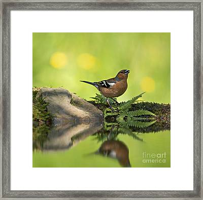 Common Chaffinch Fringilla Coelebs Male Framed Print