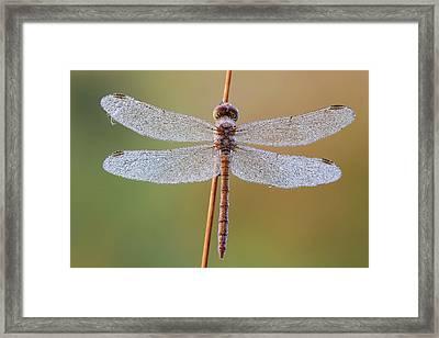 Common Darter Dragonfly Framed Print