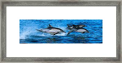 Common Dolphins Breaching In The Sea Framed Print by Panoramic Images