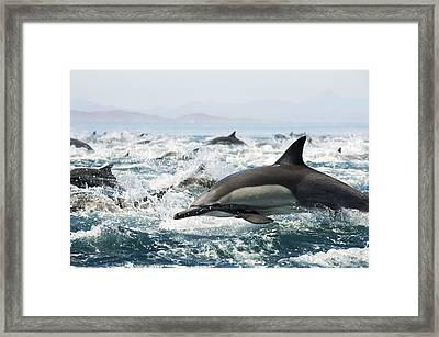 Common Dolphins Framed Print by Christopher Swann