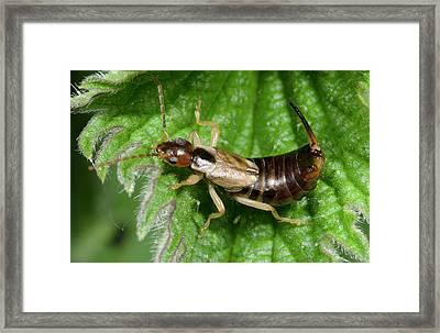 Common Earwig Framed Print