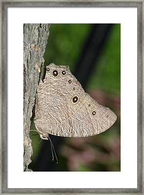 Common Evening Brown Butterfly Framed Print by Science Photo Library