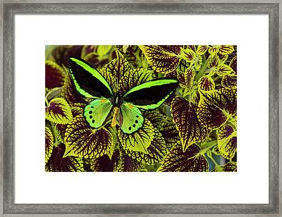 Common Green Birdwing Or The Priams Framed Print