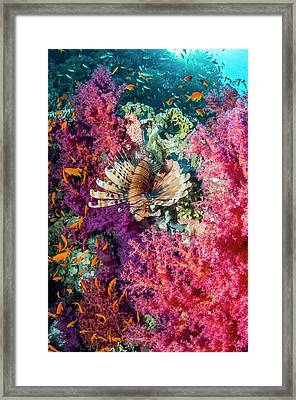 Common Lionfish Hunting A Reef Framed Print by Georgette Douwma