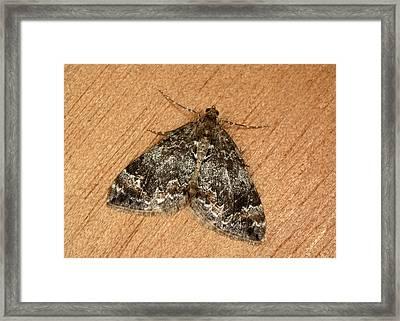 Common Marbled Carpet Moth Framed Print
