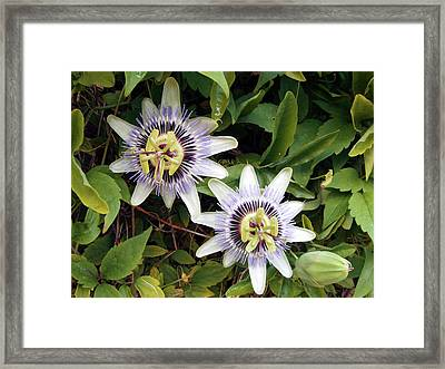 Common Passion Flower Framed Print