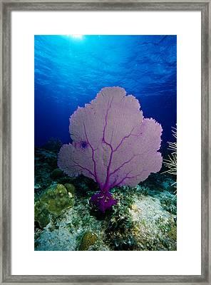 Common Sea Fan Framed Print by Andrew J. Martinez
