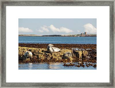 Common Seals Framed Print