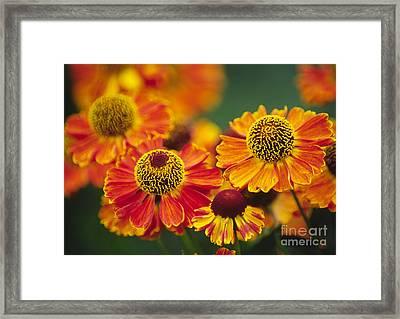 Common Sneezeweed Helenium Autumnale Framed Print by Dr. Nick Kurzenko