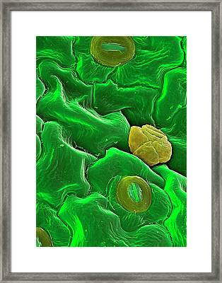 Common Sorrel Leaf Framed Print by Stefan Diller/science Photo Library