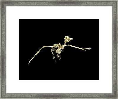 Common Tern Framed Print by Natural History Museum, London