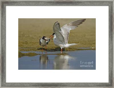 Common Tern Sterna Hirundo Framed Print by Eyal Bartov