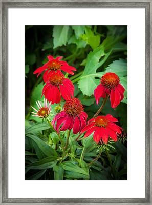 Coneflowers Echinacea Red Painted  Framed Print by Rich Franco