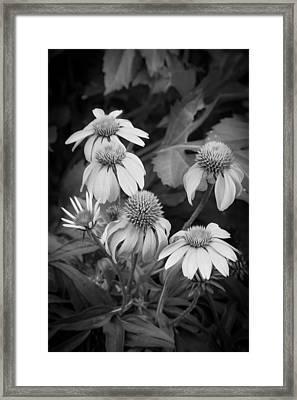 Coneflowers Echinacea Rudbeckia Bw Framed Print by Rich Franco