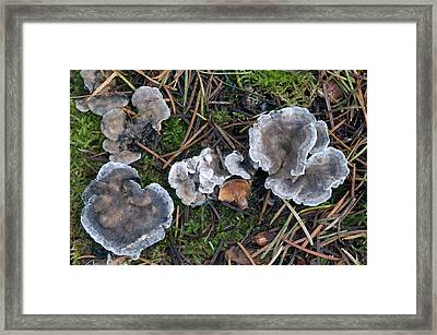 Conifer Blueing Bracket Fungus Framed Print by Nigel Downer