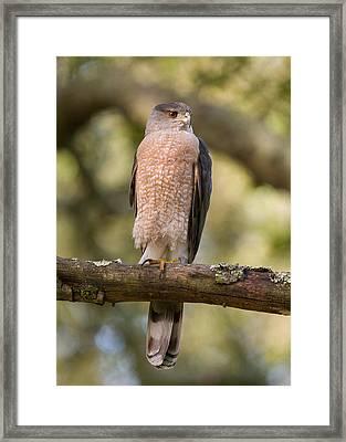 Cooper's Hawk Framed Print by Doug Herr