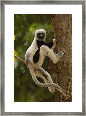 Coquerels Sifaka Madagascar Framed Print by Pete Oxford