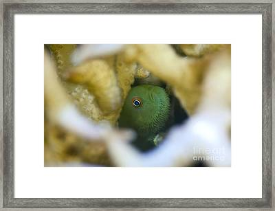 Coral Goby Hiding Inside Hard Coral Framed Print