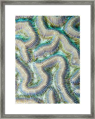 Coral Maze Framed Print by Jean Noren