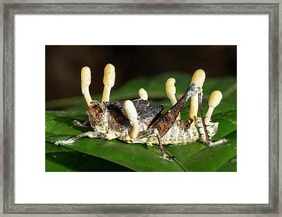 Cordyceps Fungus Framed Print